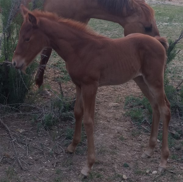 Colonels King Jewel (Filly)