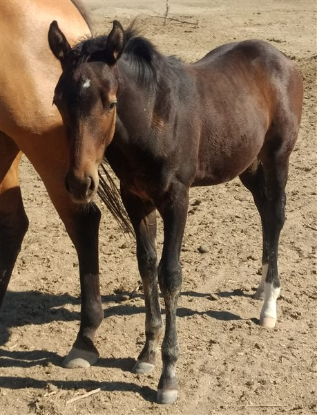 Freckles Chexy Olena (Filly)